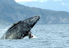 From Ocean Gypsies to Circus Performers: A Tale of Two Whales
